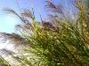 www.KÖRPERBEHANDLUNGEN.at / Getreide blühend