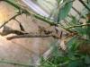 KÖRPERBEHANDLUNGEN.at - Tiere / Australische Gespenstschrecke (Extatosoma tiaratum)